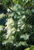 Brassavola nodosa (L.) Lindley.