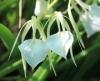 Brassavola nodosa (L.) Lindley