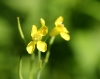 Brassica juncea (L.) Czern