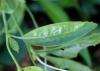 Brassica juncea, feuille.