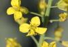 Brassica napus L