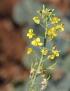 Brassica napus, Colza.