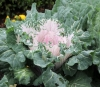 Brassica oleracea var. acephala.