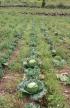 Brassica oleracea L. var. capitata L.