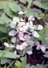 Breynia disticha. La neigeuse. La lépreuse.