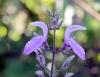 Brillantaisia owariensis, fleurs.