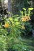 Brugmansia suaveolens.