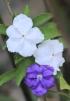 Brunfelsia uniflora (Pohl.) D. Don.