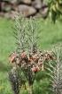 Bryophyllum delagoense (Eckl. & Zeyh.) Druce.