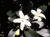 Buis de Chine ou oranger jasmin