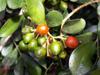 Murraya paniculata (L.) Jack Buis de Chine ou oranger jasmin