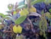 Bulbophyllum nutans (Thouars) Thouars. Ti carambole.