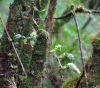 Bulbophyllum nutans (Thouars) Thouars.