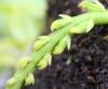 Bulbophyllum sambiranense Jum. et H. Perrier