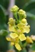 Bunchosia armeniaca (Cav.) DC.