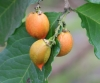 Bunchosia armeniaca. Bunchosie abricot.