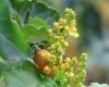 Bunchosie abricot, Bunchosie des Andes
