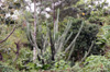 Cereus hexagonus (L.) Mill