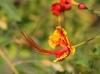 Fleur : Caesalpinia pulcherrima. Petit flamboyant.