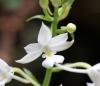 Calanthe sylvatica (Thouars) Lindl