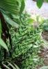 Calathea lancifolia Boom