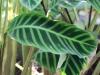 Calathea zebrina (Sims) Lindl