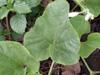Feuille : Calebasse liane ou gourde. Lagenaria siceraria (Molina) Standl