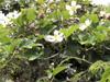 Calebasse sauvage ou melon sauvage. Lagenaria sphaerica