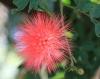 Calliandra haematocephala Hassk
