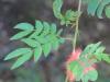 Calliandra haematocephala Hassk.