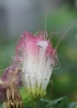 Calliandra surinamensis Benth