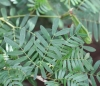 Calliandra surinamensis Benth.