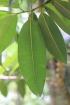 Calophyllum tacamahaca Willd.