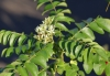 Murraya koenigii (L.) Spreng