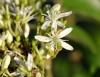 Fleur Murraya koenigii.