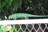 Caméléon l'Endormi reptile île de La Réunion
