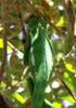 Caméléon l'endormi île de La Réunion reptile