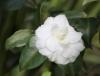Camellia japonica. Camélia.