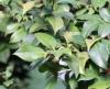 Camellia japonica. Camélia. Feuilles.