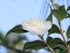 Camellia japonica. Camélia. Fleurs.