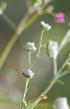 Camomille z'oiseaux, Herbe blanche - Parthenium hysterophorus L.