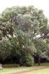 Camphrier ou arbre à camphre. Cinnamomum camphora