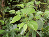 Feuilles : Camphrier ou arbre à camphre. Cinnamomum camphora
