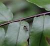 Camponotus re01