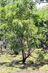 Canistel. Pouteria campechiana