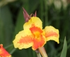 Canna x generalis L.H. Bailey