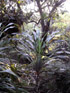 Cordyline mauritiana (Lam.) J.F. Macbr, Canne marronne