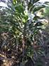 Cordyline mauritiana (Lam.) J.F. Macbr, Canne marronne, espèce endémique La Réunion et Maurice