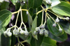 Fruits : Cannelier de Ceylan - Cinnamomum verum