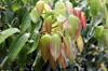 Feuilles : Cannelier de Ceylan - Cinnamomum verum